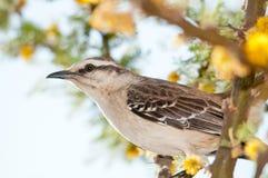 ptaka trush Obrazy Royalty Free