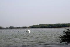 Ptaka wielki egret Obrazy Stock