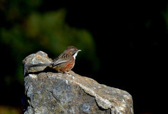 Ptaka wzgórza papla Fotografia Royalty Free