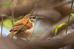 ptaka zamknięty hornero iść na piechotę pal iść na piechotę Fotografia Stock
