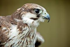 ptaka zamknięty jastrząbka zdobycz zamknięty Zdjęcie Royalty Free