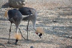 2 ptaka znajdują coś jeść Zdjęcia Royalty Free