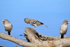 Ptaki Afryka - Stawiający czoło Finch błękit i rodzina Obrazy Stock