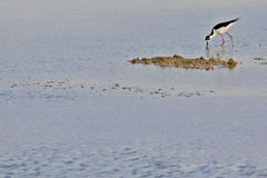Ptaki bagna Cutler zatoka Obrazy Royalty Free