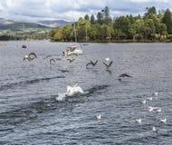 Ptaki bierze lot na Jeziornym Windermere w Jeziornym okręgu Zdjęcie Royalty Free