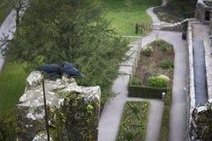 Ptaki Blarney Zdjęcia Royalty Free