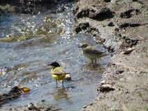Ptaki blisko wody Obraz Royalty Free
