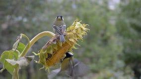Ptaki dzióbać słonecznikowych ziarna Dwa Tits, mała przestrzeń zdjęcie wideo