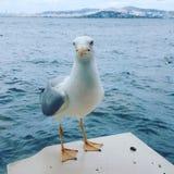 ptaki dzwonili rodzinnych frajerów nieformalnie laridae często seagull seagulls zdjęcia stock
