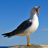 ptaki dzwonili rodzinnych frajerów nieformalnie laridae często seagull seagulls zdjęcie royalty free