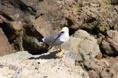 ptaki dzwonili rodzinnych frajerów nieformalnie laridae często seagull seagulls Zdjęcia Royalty Free