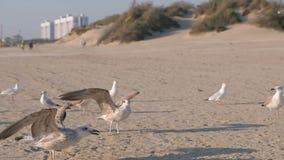 Ptaki gaworzą i seagulls jedzą chleb na piaskowatej plaży zbiory