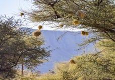 Ptaki gniazdują w Namibia Zdjęcia Stock