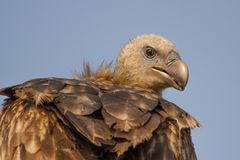 Ptaki - Himalajski gryfonu sęp, Bagori pasmo, Kaziranga park narodowy, Assam, India obraz royalty free