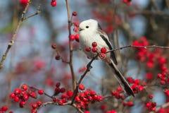 Ptaki i jagody obraz royalty free