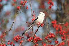 Ptaki i jagody zdjęcie royalty free