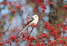Ptaki i jagody zdjęcia stock
