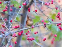 Ptaki i jagody zdjęcie stock