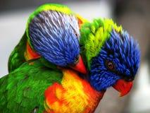 ptaki jaskrawy barwioni dwa Obraz Royalty Free