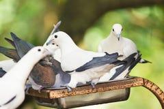 Ptaki je ziarna od ptasiego dozownika Fotografia Royalty Free