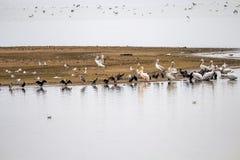 Ptaki Jeziorny Kerkini, Grecja w zimie fotografia royalty free