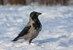 Ptaki - Kapturzasta wrona Zdjęcie Royalty Free