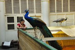 ptaki krajowi Fotografia Stock
