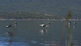 Ptaki lata nad jeziornym moogerah zbiory