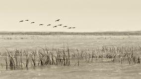 Ptaki lata - rocznika czarny i biały styl Zdjęcia Stock