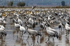 Ptaki migrujący w krajowym ptasim sanktuarium Hula lokalizują w północnym Izrael Zdjęcia Royalty Free
