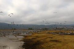 Ptaki migrujący w krajowym ptasim sanktuarium Hula lokalizują w północnym Izrael Zdjęcie Royalty Free