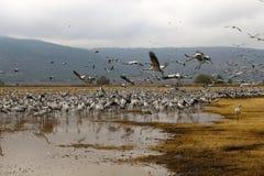 Ptaki migrujący w krajowym ptasim sanktuarium Hula lokalizują w północnym Izrael Obrazy Stock
