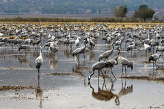 Ptaki migrujący w krajowym ptasim sanktuarium Hula lokalizują w północnym Izrael Obraz Stock