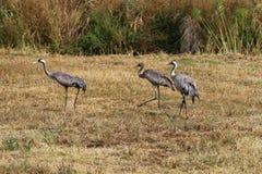 Ptaki migrujący w krajowym ptasim sanktuarium Hula lokalizują w północnym Izrael Fotografia Stock