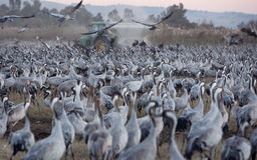 Ptaki migrujący w rezerwacie przyrody w Izrael Zdjęcie Stock