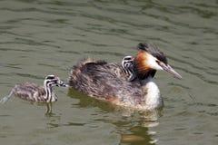 ptaki młodzi Obrazy Royalty Free