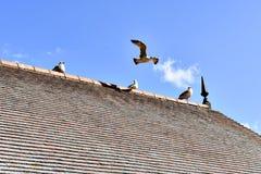 Ptaki na dachu Zdjęcie Royalty Free