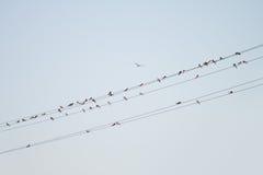 Ptaki na drucie Obraz Royalty Free