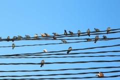 Ptaki na drutach Zdjęcie Royalty Free
