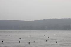 Ptaki na Jeziornym Constance Obrazy Royalty Free