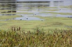 Ptaki na jeziorze Obraz Royalty Free