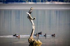 Ptaki na jeziorze w Glenorchy, Nowa Zelandia Zdjęcie Royalty Free