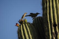 Ptaki na kaktusie Zdjęcia Stock