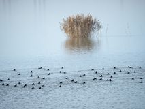 Ptaki na Mihailesti jeziorze blisko Bucharest, Rumunia Obrazy Stock
