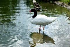 Ptaki na wodzie Zdjęcie Stock