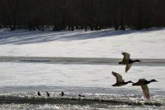 Ptaki na zamarzniętej rzece Zdjęcie Royalty Free