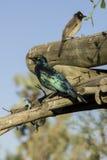 Ptaki, Namibia Obraz Royalty Free
