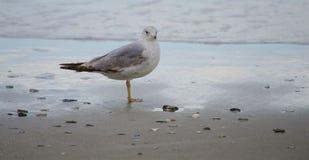 Ptaki od mirt plaży zdjęcie royalty free