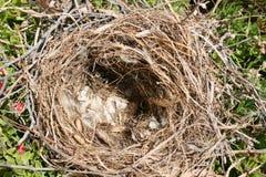 ptaki opróżniają gniazdeczko Obraz Royalty Free