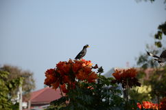 Ptaki północny Tajlandia Błonia imię: Odpowietrzający Myna Naukowy imię: Acridotheres grandis Obraz Royalty Free